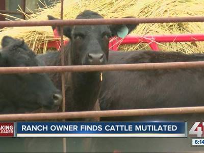 Rancher_mystified_by_cattle_mutilations_790300000_20130729191351_640_480